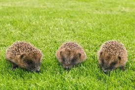 hedgehogs garden