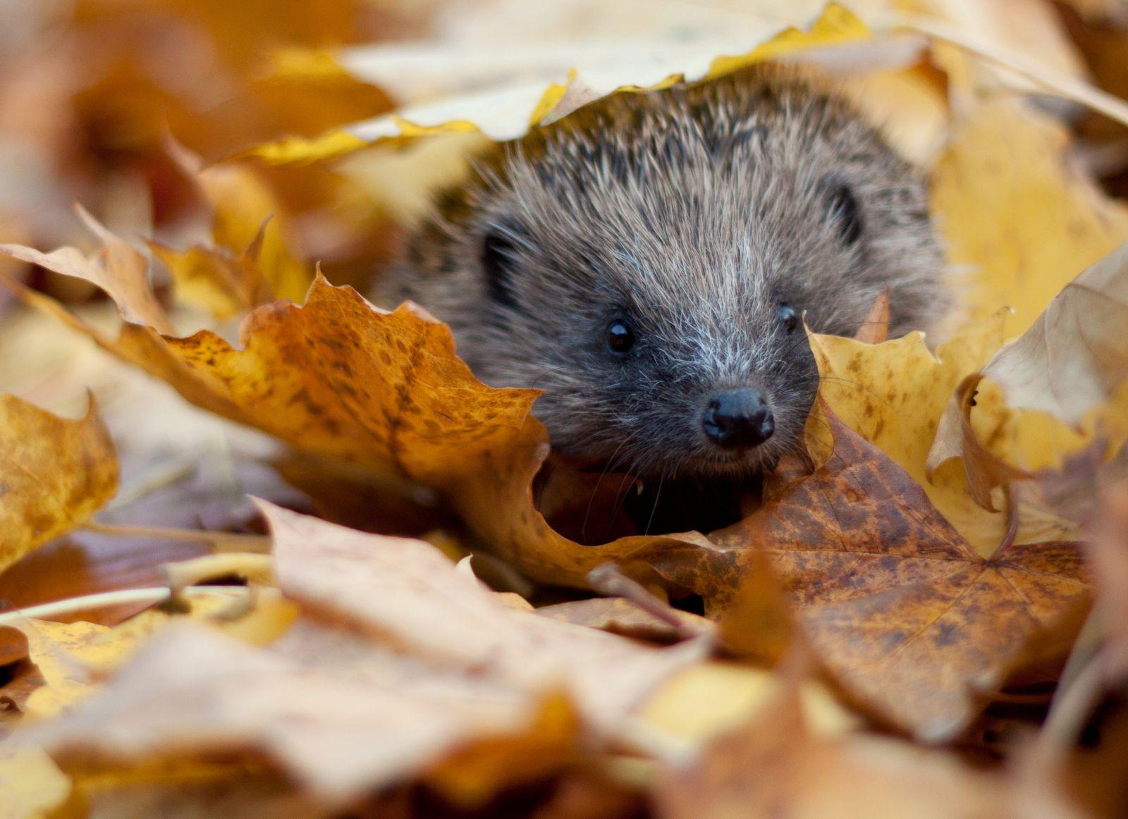 hog in leaves