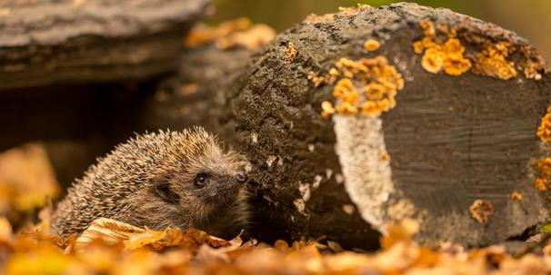 hog and log