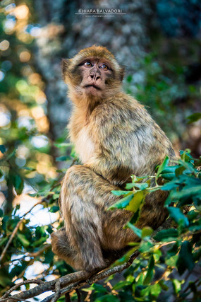 Macaque in Ifrane