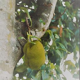 Jackfruit_edited.jpg