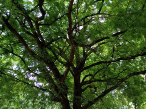 In the Shade of a Tamarind Tree