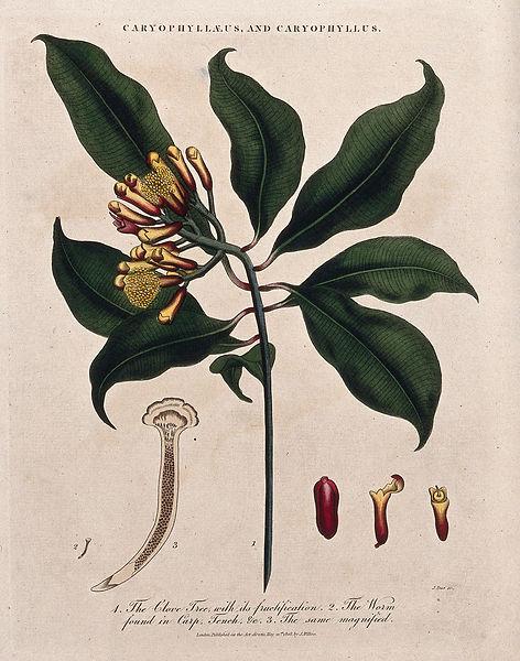 spiceplant.jpg