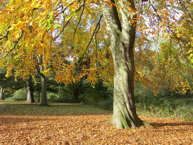 Autumn beech and other trees by river