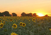 Sunset with sunflowers.jpg