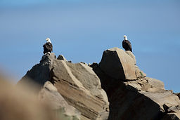 eagles on the point