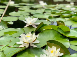 lillies on the pond