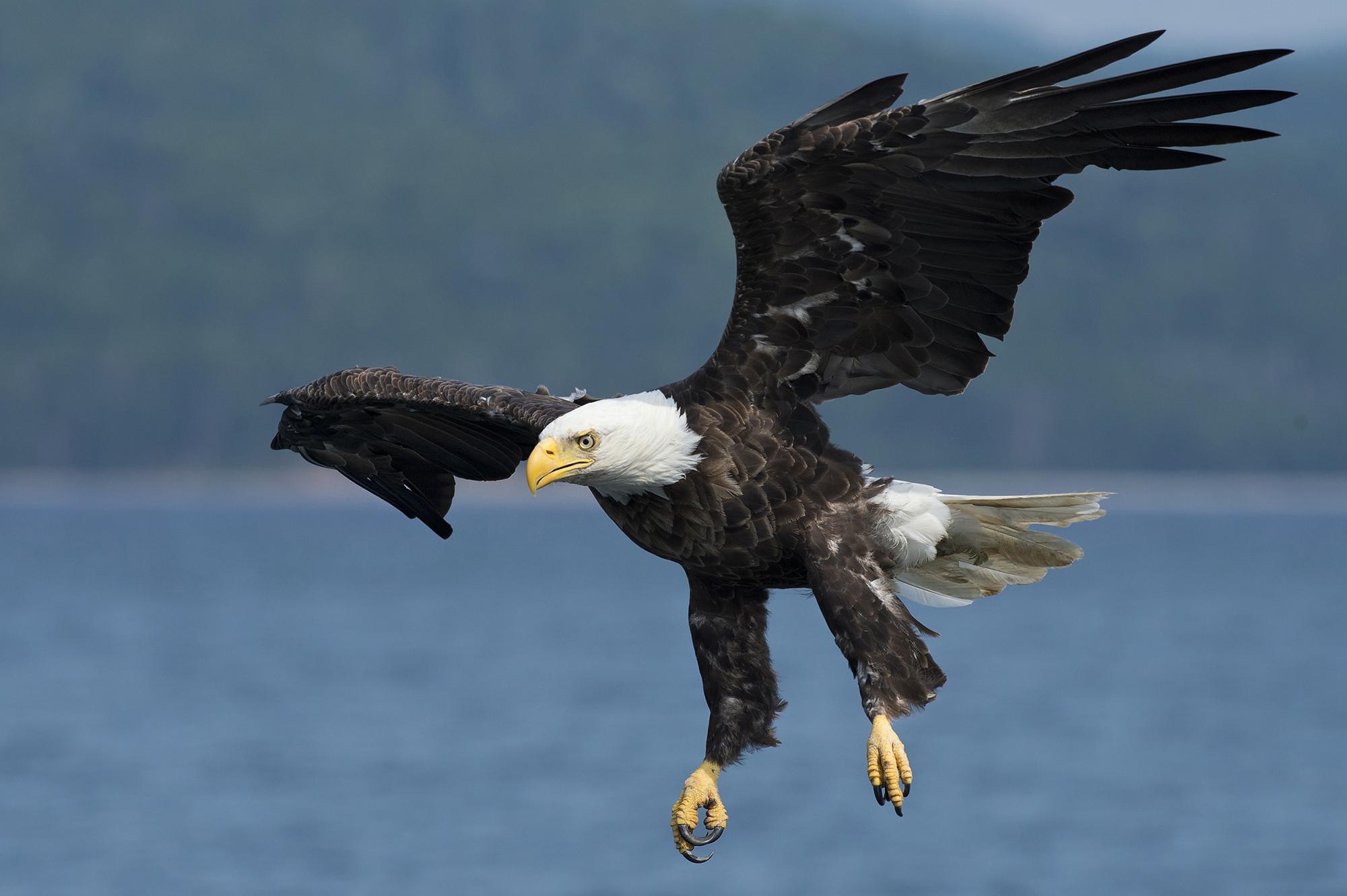 bald eagle seasky cottages