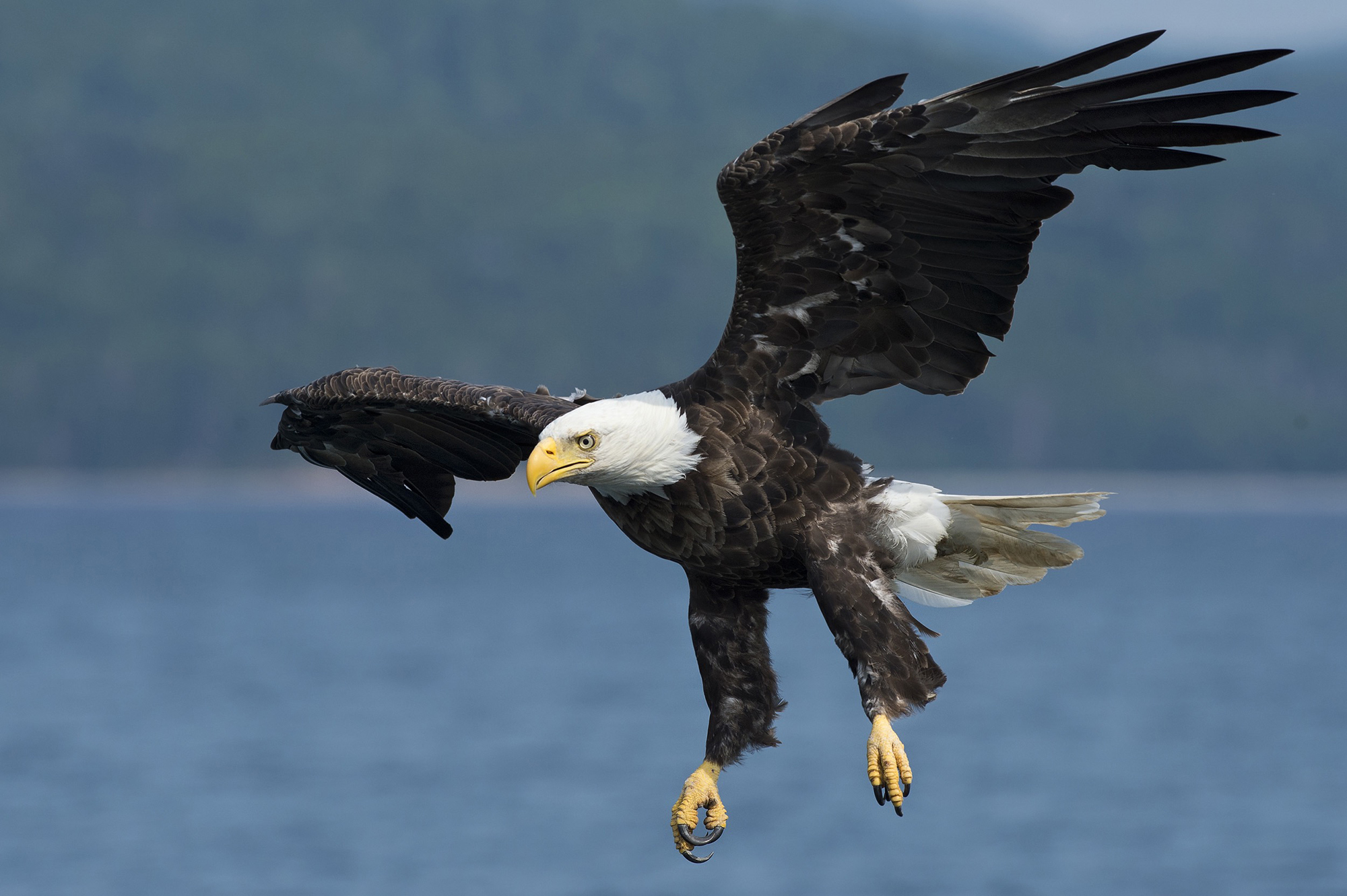 bald eagle deep blue sea cottage