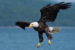 bald eagle deep blue sea cottage