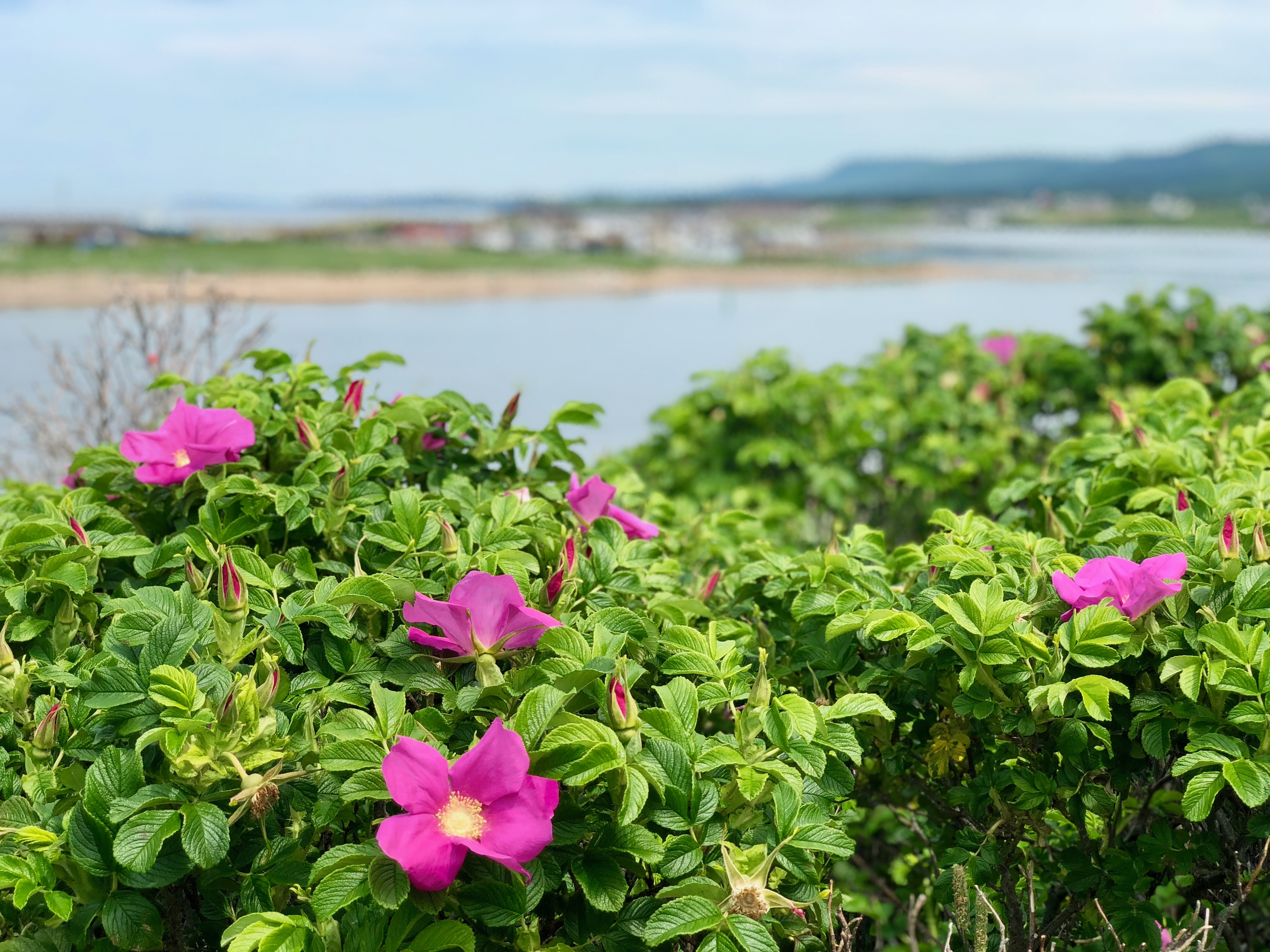 wild roses at Margaree Harbour