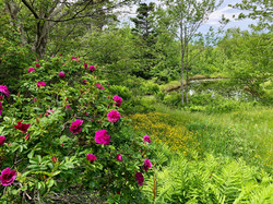 roses and pond