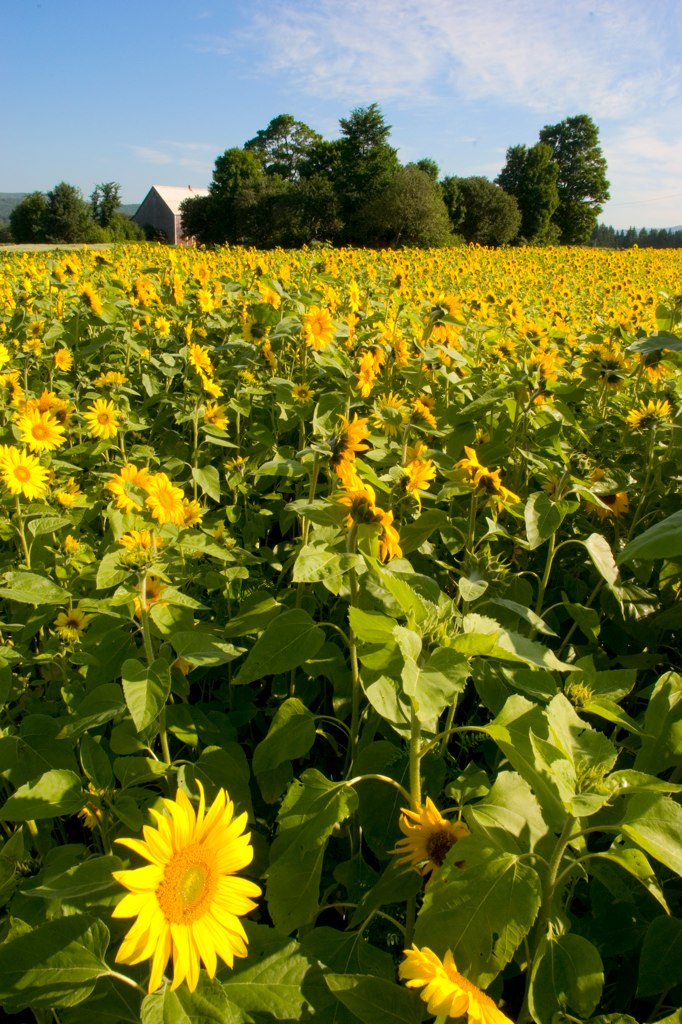 margaree sunflowers