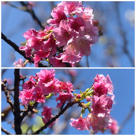 SAKURAの桜