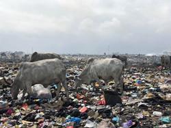 プラスチックの混ざった腐敗した玉ねぎを食べる牛たち。食用として加工され出荷される。