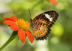 P_Butterfly_2