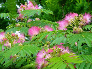 Herb Highlight: He Huan Pi (Mimosa Tree Bark)