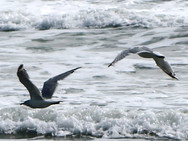 Seagulls frolicking in the surf