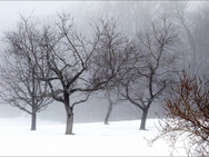 Apple trees in misty winter