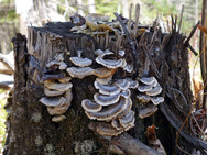 Turkey Tail mushrooms found in our woods