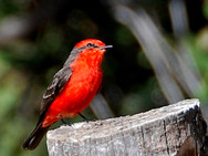 A Vermilion Fly Catcher at the Guadalupe Center in Cuernavaca