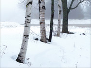 White Birch trees along the way to our Barn Chapel