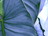 Patterns seen on a large leafed plant