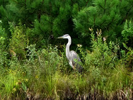Blue Heron on bank of our front pond