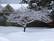 Apple tree near the Visitors' Center, in winter