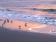 Sandpipers on the beach at sunrise