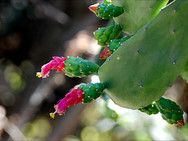 Red Prickly Pear cactus flowers, or Tuna, at the Guadalupe Center in Cuernavaca