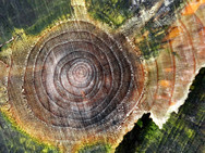 Growth rings and chain saw cuts on a tree stump, colored by damp fungi