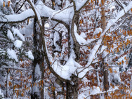 Snow-covered branches and Beech leaves, as if dancing
