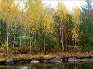 Birch trees in autumn, on the island in our front pond