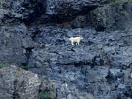 Mountain goat seen at Wall Lake and Akamina Ridge