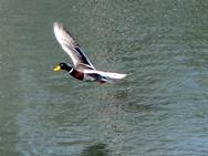 Mallard duck in our back pond