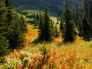Field of Indian Paintbrushes, wildflowers seen on a hike to Wall Lake, Waterton