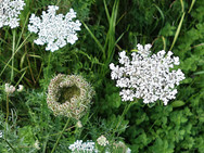 Wild Carrot in the form of Queen Anne's Lace and Bird's Nest seed stage