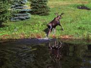 Moose leaving our back pond after a swim