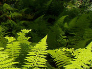 Ferns basking in the sunlight