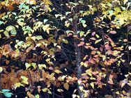 Autumn leaves in various shades