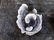 Turkey Tail mushroom on an old tree stump in our woods