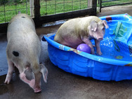 Our playful pigs