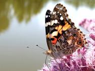 Painted Lady butterfly on Joe-Pye-Weed wildflower