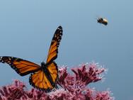 Monarch butterfly and Bumblebee on Joe-Pye-Weed wildflower