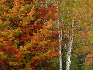 Maple and White Birch in their autumn glory