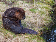 Beaver on the bank of our back pond 2