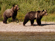 Grizzly bears seen from Lake Josephine at Many Glacier
