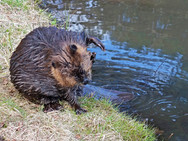 Beaver on the bank of our back pond 1