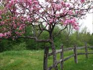 Floweriing Crab Apple tree near our labyrinth